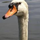 Swan, Schwan