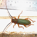 Festive Long-horned Beetle