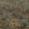 Hoopoe (Τσαλαπετεινός)