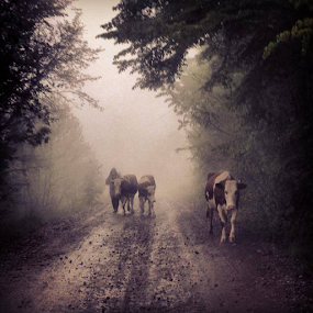 Rural world by Sabin Malisevschi - Instagram & Mobile iPhone ( elder, mountain, mud, wood, woman, street, cow, rain, cows, rural )
