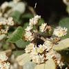 Wasp mimic longicorn beetle