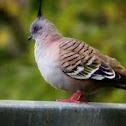Top knot pigeon