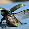 Golden staghorn beetle (female)