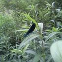 Black wing Damsel