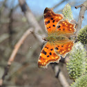 The Comma butterfyly