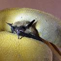 Western Pipistrelle