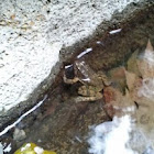 Foothill Yellow-legged Frog