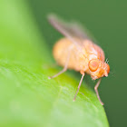 Lauxinid Fly