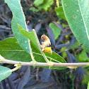 Pebble Prominent Caterpillar
