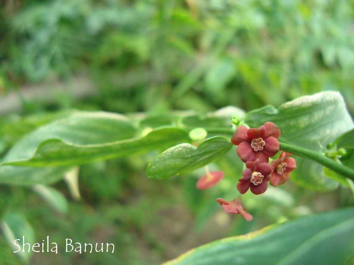 Bunga Katuk
