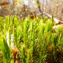 Hair Moss