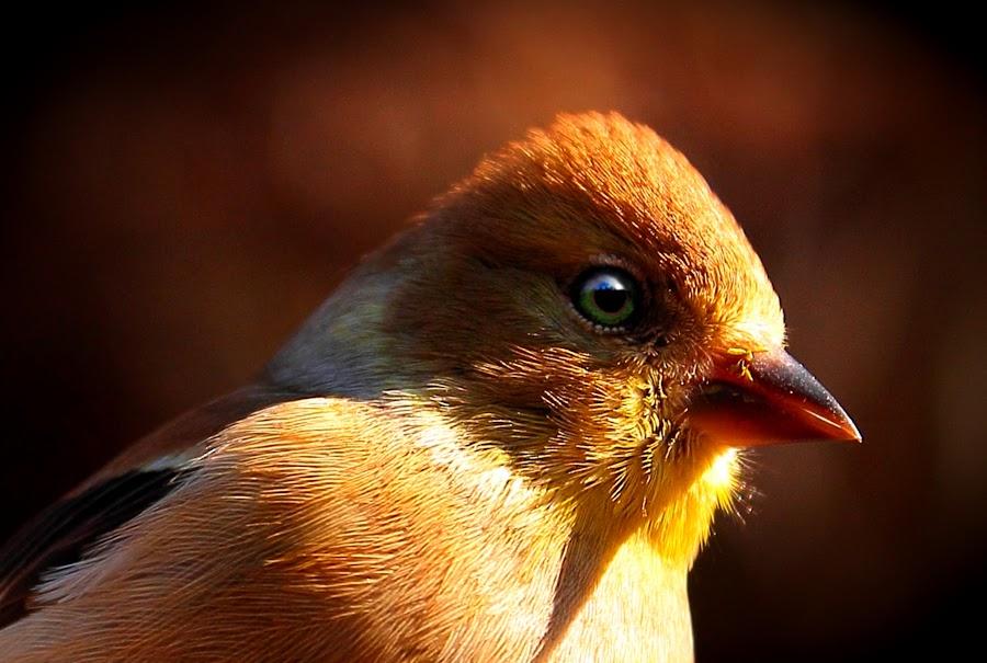 Summer is Coming by Paul Mays - Animals Birds ( bird, gold finch, nature, birds, kentucky )