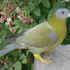 Yellow- footed Green Pigeon