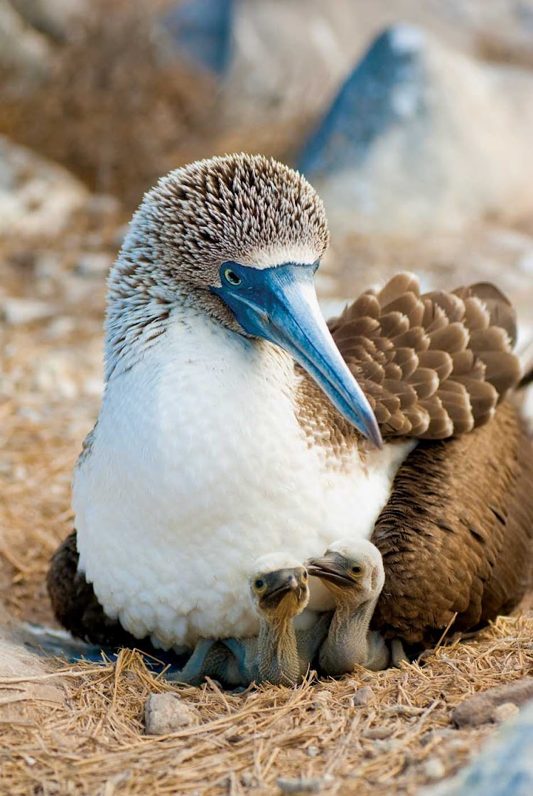A bluefooted booby mother lays with her two chicks during a Lindblad Expeditions visit of the Galápagos Islands.