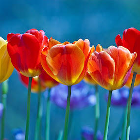 by Shalabh Sharma - Flowers Flower Gardens ( moods, colorful, georgia, happiness, tulips, vibrant, spring, spring colorful flowers, inspiration, january, emotions, outdoors, athens, uga, springtime, flower, athens botanical garden, mood factory )