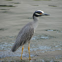 Yellow-crown Night Heron
