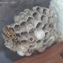 Guêpe commune (common wasp)