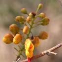 Caesalpinia affinis