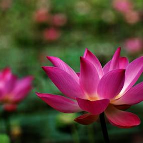 Lotus Garden by Sudarmanto Edris - Flowers Flower Gardens