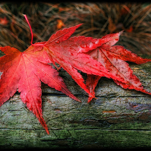 maple fall.jpg