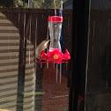 Yellow-rumped Warbler (nonbreeding)