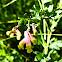 Pink Corydalis (Endangered)