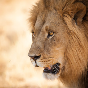 Bright eyed Lion on hunt by Marjorie Speiser - Animals Lions, Tigers & Big Cats ( face, cat, muzzle, african, ferocious, furry, stare, wildlife, king, beast, predator, carnivore, southern, nature, leader, safari, fur, hunt, noble, africa, head, hair, animal, eye, look, botswana, lion, wild, mane, beautiful, male, majesty, leo, dangerous, portrait, mammal, okavango delta, magnificent, hunter, savage, jungle, strong, outdoor, nose, natural,  )