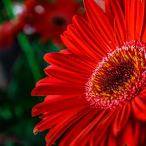 Red flower by Thiago Silva - Flowers Flower Arangements ( red, flower, close,  )