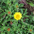 Yellow sea aster
