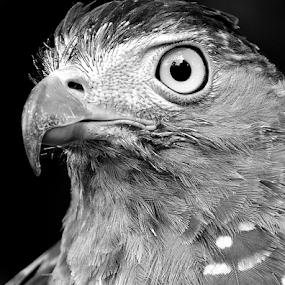 Raptor Head by Richard Idea - Black & White Animals (  )