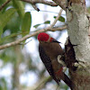 gold fronted woodpecker