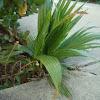 Palm Tree 'sapling'