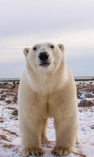 Polar Bear Live Wallpaper