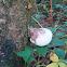 birch polypore