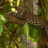 The Indian  Leopard cub