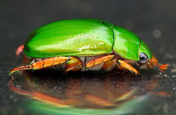 Christmas Beetle.Christmas Beetle Project Noah