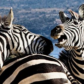 Zebras by Cristobal Garciaferro Rubio - Animals Other Mammals ( zebra, zebras )