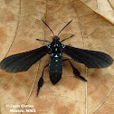 Black Wasp Moth