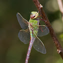 Common Green Darner dragonfly (female)