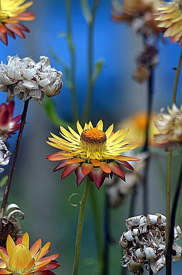 Kejora by Azman Kamaruddin - Flowers Flowers in the Wild