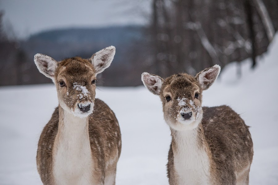 Posing for us by Roland Bast - Animals Other ( winter, canada, fallow deer, snow )