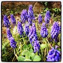 Grape Hyacinth