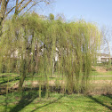 Weeping White Willow