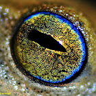 Blue-eyed bush frog