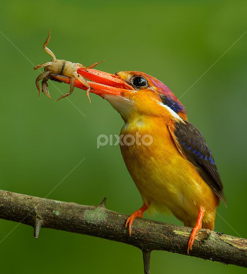Oriental Dwarf Kingfisher by Jineesh Mallishery - Animals Birds