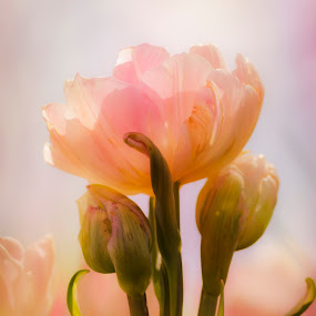 Tulip II by Gabrielle Libby - Flowers Flower Gardens ( macro, maine, green, tulip, peach, pink, flower, petal, close )