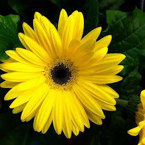 Yellow on green by Mike Tapley - Flowers Single Flower ( yellow, flowers, garden, flower )