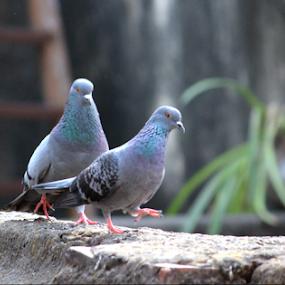 LOVEBIRDS by Amit Sen - Animals Birds