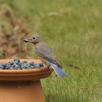 Backyard Birding Southeastern USA