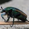 Figeater Beetle (June Beetle)